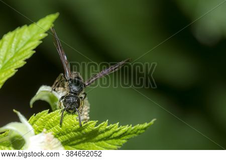 Winged Black Garden Ant Before Swarming On A Blade Of Grass