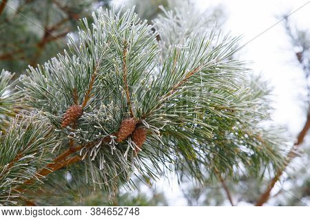 Pine Branches Covered With Frost. Pine Needles With Young Cones In Early Spring. Spring Frosts. Clos
