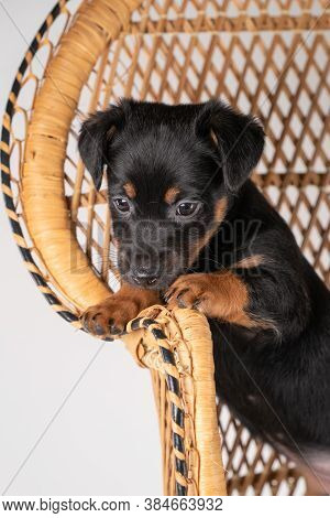 A Portrait Of A Cute Jack Russel Terrier Puppy, Standing On Hind Legs On A Rattan Chair, Part Of Bod