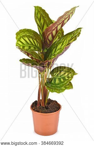 Tropical 'calathea Flamestar' House Plant With Leaves Raised During Nighttime With Beautiful Striped