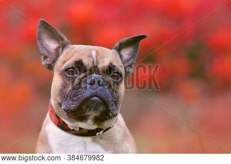 Portrait Shot Of Head Of A Fawn French Bulldog Dog With Black Mask And Pointy Ears In Front Of Blurr