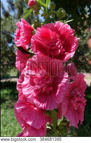 Hollyhock With Big Double Red Flowers In Mid June