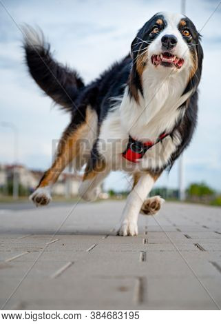Portrait of happy run Australian Shepherd dog walking outdoors. Beautiful adult purebred Aussie Dog jump toward the camera.