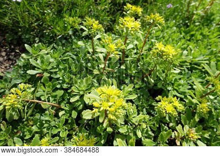 Bright Yellow Flowers Of Sedum Kamtschaticum In May