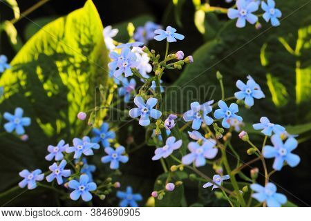 Flowers Scorpion Grasses Or Myosotis In Nature, A Ray Of The Setting Sun Illuminates Some Of The Flo