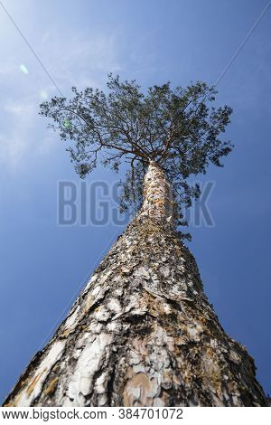 Low Angle View Of One Pine Tree Over Clear Blue Sky, Close Up, Diminishing Perspective, Selective Fo