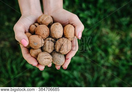 Woman Holding Whole Walnut In Her Hands. Walnut Isolated. Harvest. Whole Walnut, Healthy Organic Foo