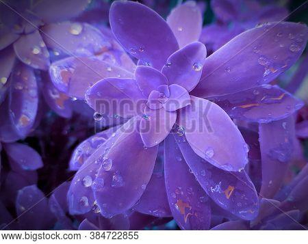 Echeveria Succulent In Drops Of Rain Dew. Indigo Color Filter. Close-up. Soft Focus. Purple Vegetabl