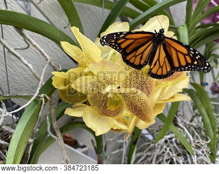 This Is A Newly Released Butterfly Perched On A Beautiful Yellow Orchid.