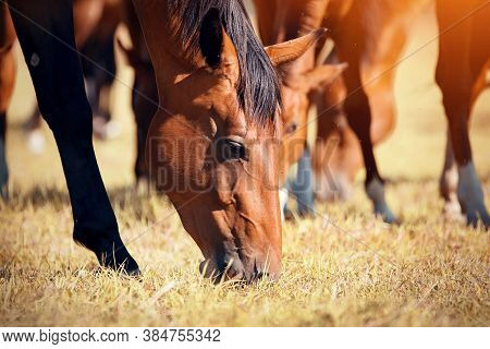 A Herd Of Sporting Horses Grazing On The Field.  Muzzles Of Grazing Horses Close-up. Horses Grazing