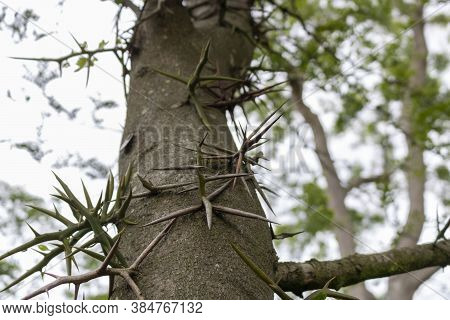 Thorns Of Honey Locust Gleditsia. The Honey Locust (gleditsia Triacanthos), Also Known As The Thorny