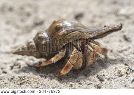 Hermit Crab On The Sandy Beach On The Island Of Zanzibar, Tanzania, Africa. Cancer Hermit Close Up