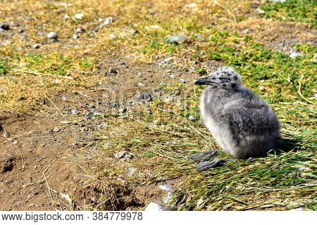 A Kelp Gull Hatching On Magdalena Island, Chile.