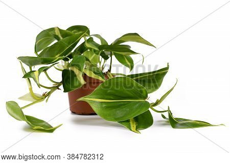 'philodendron Hederaceum Scandens Brasil' Tropical Creeper House Plant With Yellow Stripes In Flower