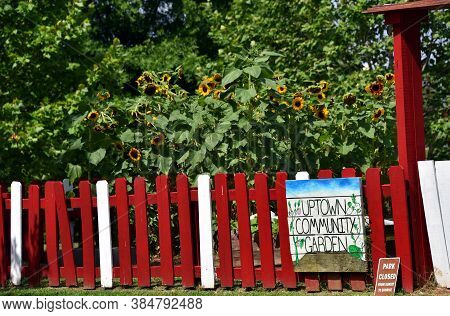 The Uptown Community Garden, In Memphis, Tennessee, Has Tall Stand Of Blooming Sunflowers.  Red And