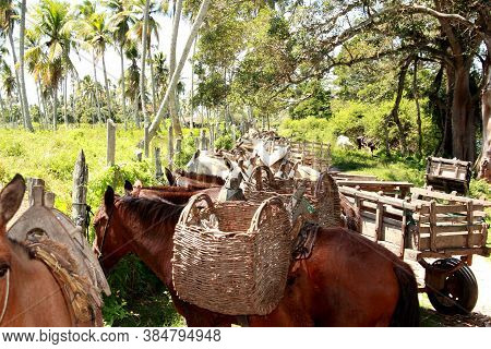 Conde, Bahia / Brazil - September 7, 2012: Donkey, Horses And Donkeys Transporting Cargo Are Seen In