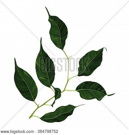 Green Ficus Rubber Plant Branch Leaf Vector Art