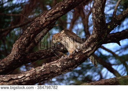 Juvenile Light Morph Red-tailed Hawk Buteo Jamaicensis Eats A Blue Jay