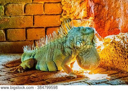 Green Iguana Iguana, Also Known As The American Iguana In The Loophole Of An Ancient Fort, The South