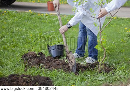 The Gardener Is Planting Trees. A Gardener With A Shovel Digs A Hole For A Seedling. Work In The Gar