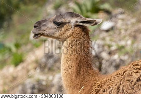 The Guanaco (lama Guanicoe) Is A Camelid Native To South America