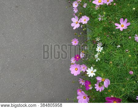 Cosmos Bipinnatus, Bright Pink White Flowers, Mexican Astra, Selective Focus, Copy Space