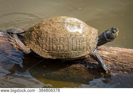 A Large Yellow-bellied Slider Stretches Out On A Log In The Sun. Raleigh, North Carolina.