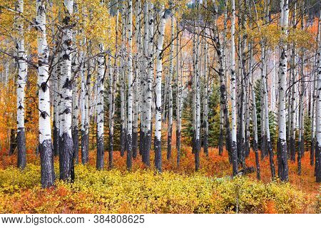 Many Aspen trees in a forest during autumn time