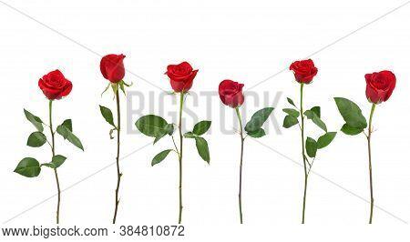 Rose Flower Background. Colorful Roses Flower Pattern. Roses Flower Bouquet. Garden Rose. Red Rose.