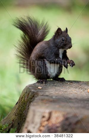 Fur Squirrel With Tail Close-up On Stump And Grass Background