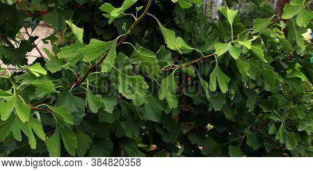 Relic Tree Of A Ginkgo Of A Biloba Popular Herb. Home Garden.