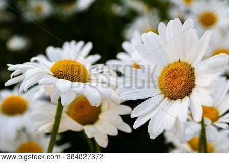 Camomile Flowers Tea Summer White Yellow Field, Natural Background.