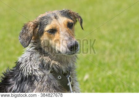 Outdoor Portrait Of Sad Wet Cross Breed Of Hunting Dog Against Green Background