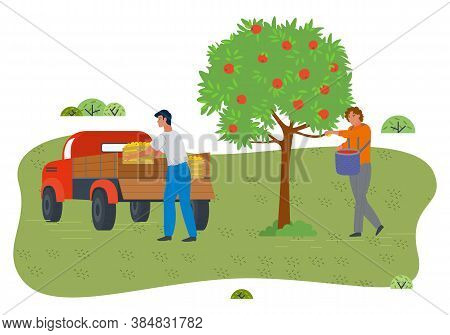 People Gathering Fresh Apples In Garden From Apple Tree. Guy Holding Basket Full Of Fruits. Man Load