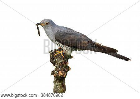 Common Cuckoo Feeding On Bough On White Background.