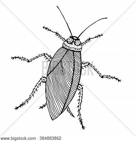 Cockroach Illustration Ink, Line Art. Vector Illustration. Isolated On White.