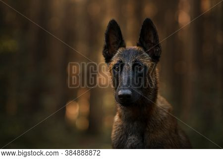 Belgian Shepherd Dog In The Forest. Portrait Malinois In Nature. Wood Landscape With A Pet