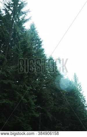 Beautiful Pine Trees In The Forest After The Rain, Atmospheric Photo In Montenegro In The Park Drumi