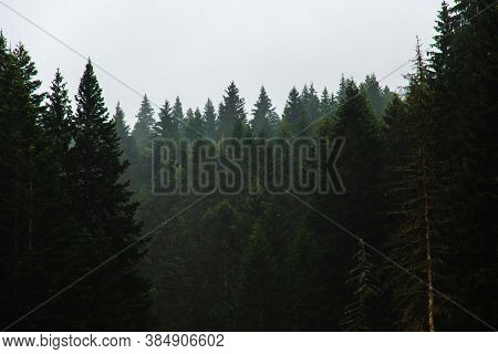 Forest In Fog After Rain, Atmospheric Photo