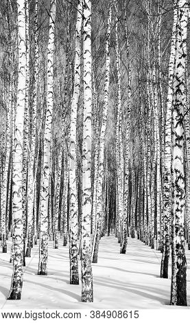 Trunks Of Birches In A Winter Forest In Sunny Weather Black And White