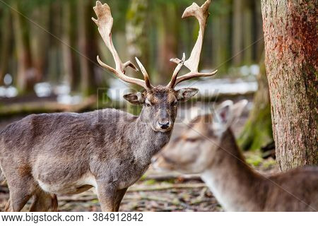 Red Deer Stag In The Forest (germany)