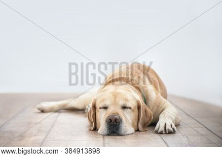Cute Purebred White Labrador Retriever Dog Is Lying On The Floor