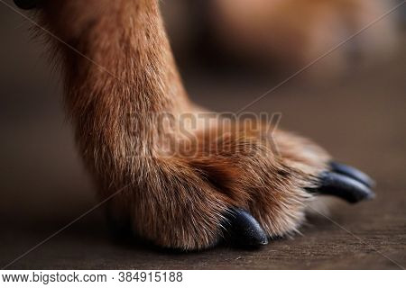 Macro Photo Paws With Long Claws Of A Small Dog On A Brown Wooden Background.dog Hair Close-up.