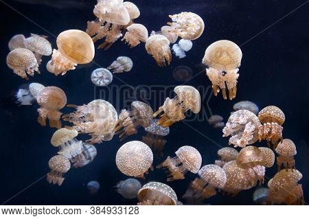 Many Spotted Jellyfish In The Dark Water. Phyllorhiza Punctata Also Known As The Australian Spotted