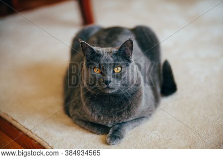British Shorthair Cat With Brown Eyes On The Carpet.