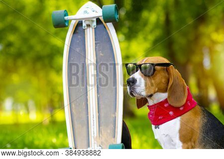 Portrait. A Beagle Dog In Sunglasses Sits In A Park Near A Longboard. The Foxhound Pet Walks On A Sk