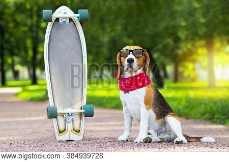 A Beagle Dog In Sunglasses Sits In A Park Near A Longboard. The Foxhound Pet Is Walking, Learning To