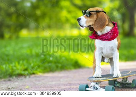 The Dog Of The Breed Is True, It Rides In The Park But A Longboard. Pet Walks, Learns To Ride A Skat