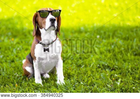 Portrait Of A Serious Beagle Dog Wearing Sunglasses On Green Grass. Funny Hunting Foxhound In The Pa