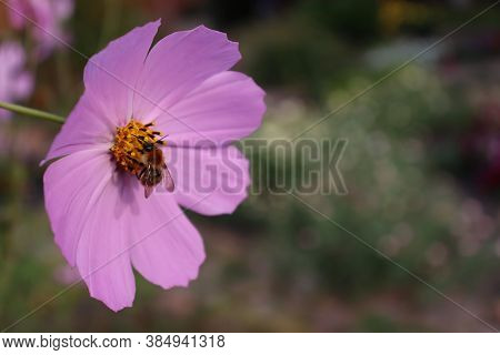 Bumblebee On A Pink Flower - Kosmeya. Cosmos Bipinnatus. A Pollinating Insect At Work. Background. H